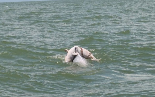 china-guangxi-mother-dolphin-carrying-dead-bay-dolphin-on-back-03-600x378