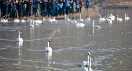 thousands-of-white-swans-from-siberia-flew-to-the-yellow-river-wetland-d17ggc